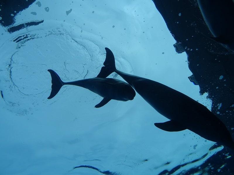 Magnifici delfini Acquario di Genova